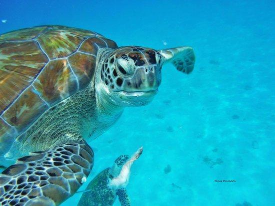 Saint Michael Parish, Barbados: Snorkeling with Sea Turtles in Carlisle Bay next to the Hilton Barbados Resort