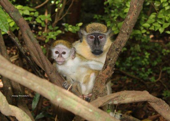 Saint Michael Parish, Barbados: Barbados Wildlife Reserve wild monkeys - mama and her baby!