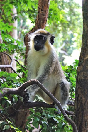 Hilton Barbados Resort: Barbados Wildlife Reserve wild monkeys!