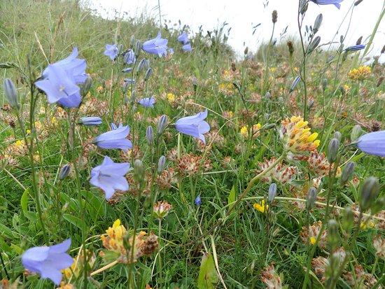 Stevenston, UK: Flowers on the dunes
