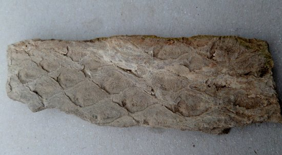 Stevenston, UK: A 400 million year fossil clubmoss from the beach