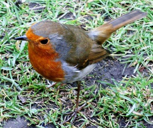 Biddulph, UK: My friendly Robin