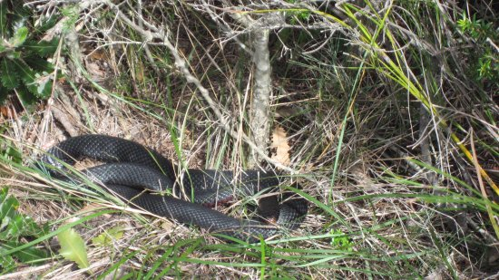 Royal National Park, Australien: Red bellied black snake