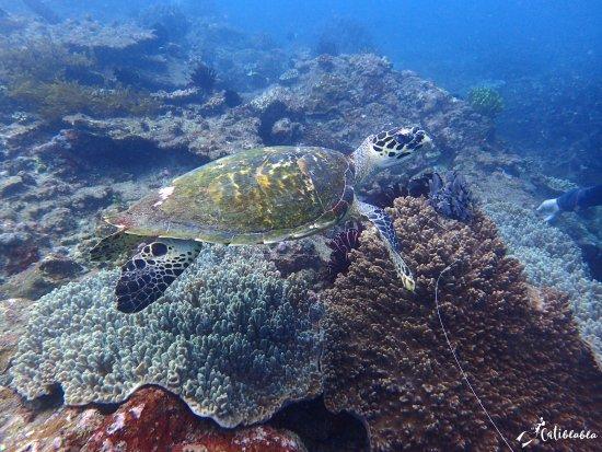 Padangbai, Indonésie : tortue imbriquée