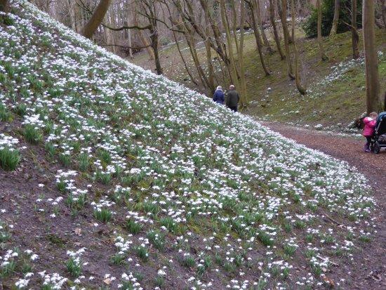 Castle Hedingham, UK : snowdrop walk
