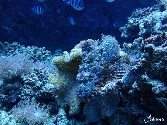 Gili Air, Indonésie : poisson pierre