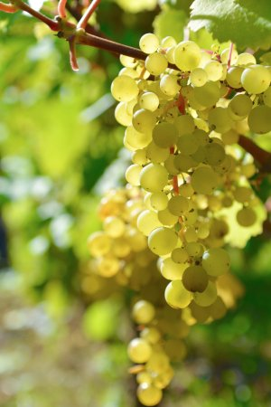Langley, WA: Our vineyard! The largest vineyard on Whidbey Island!