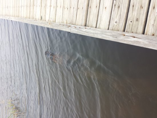 Port Arthur, Teksas: Alligator (estimated 7ft) calmly loitering near boardwalk. Them him alone and he'll leave you al