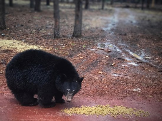 Williams, AZ: 2 year old bear cub