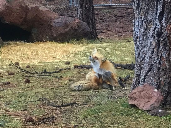 Williams, AZ: fox exhibit