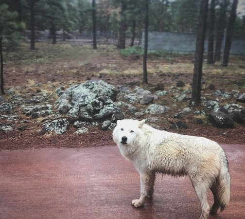Williams, AZ: one of the beautiful arctic foxes