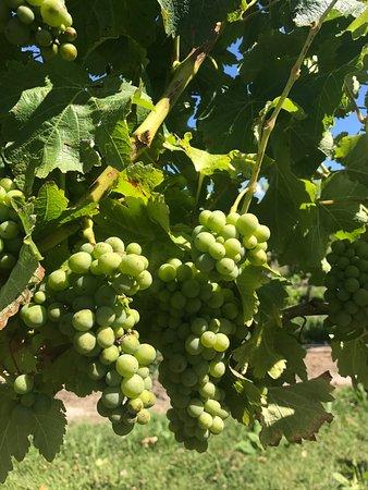 Blenheim, Neuseeland: Sav Blanc grapes