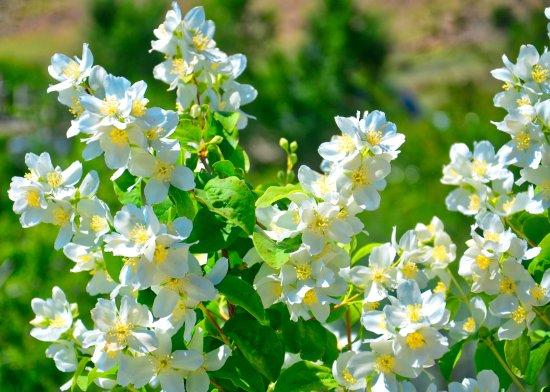 Idaho Botanical Garden: Syringa, Idaho's state flower, also known as a mock orange