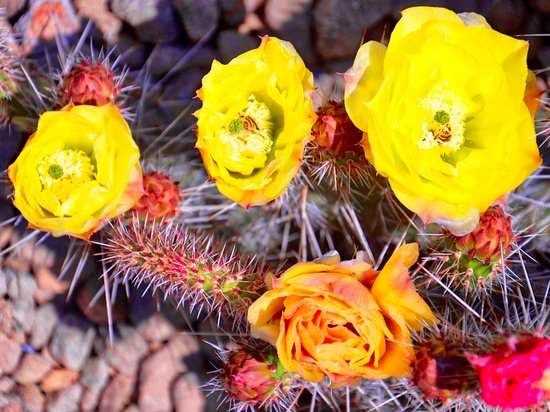Idaho Botanical Garden: Yellow cacti in bloom.