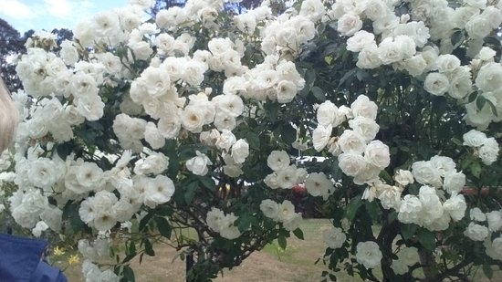 Scottsdale, Australien: Beautiful roses in the garden