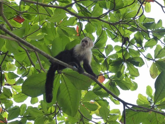 Falls Resort at Manuel Antonio: Iguana's, monkeys, toucans, and other wildlife right on the premise.
