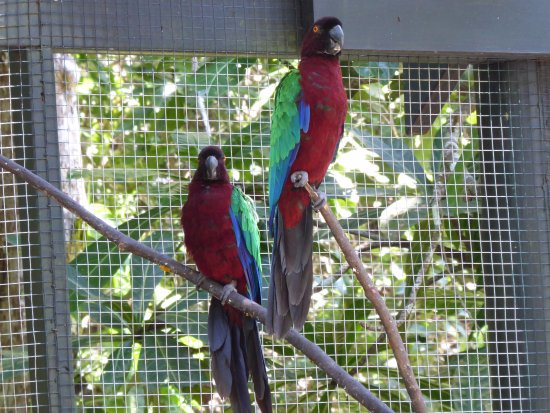 Kula Eco Park: Fijian parrots
