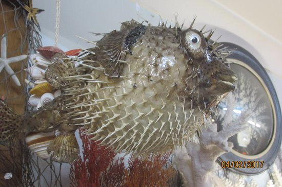 Puffer fish picture of treasures from the deep opal and for How much is a puffer fish