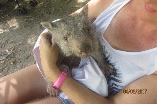 Batemans Bay, Australia: Baby Wombat