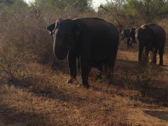 Uda Walawe National Park, Sri Lanka: Herding them along
