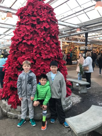 Woodinville, WA: A tree made of poinsettias!