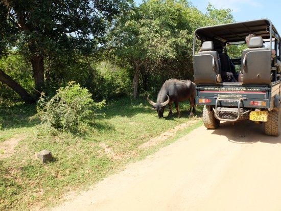 Tissamaharama, Sri Lanka: buffalo