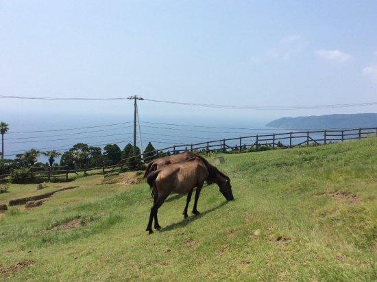 Kushima, Japan: 都井岬の野生馬