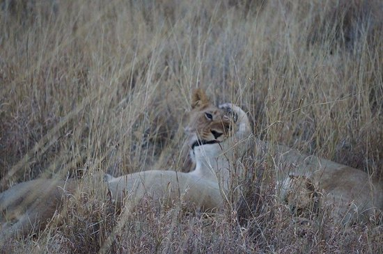 Madikwe Game Reserve, South Africa: Lions playing before a storm
