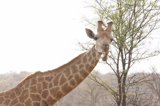 Madikwe Game Reserve, South Africa: Giraffe enjoying a bone