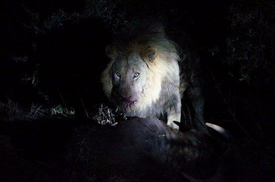 Madikwe Game Reserve, South Africa: Lion enjoying a fresh buffalo kill