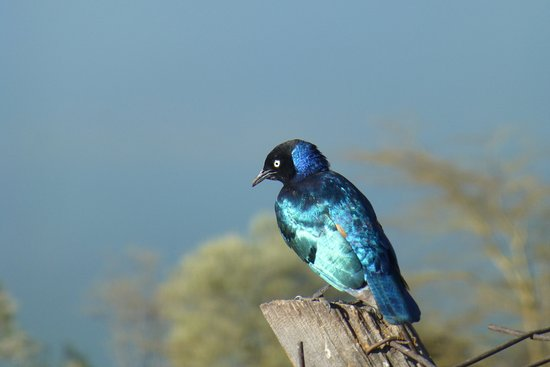 Lake Elementaita, Kenya: Superb Starling on the bird feeder on the terrace.