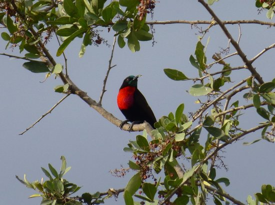 Lake Elementaita, Kenya: Scarlet Breasted Sunbird on the drive up to the property.