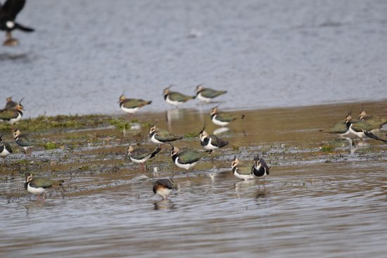 Bury St. Edmunds, UK: Lapwings at Lackford lakes