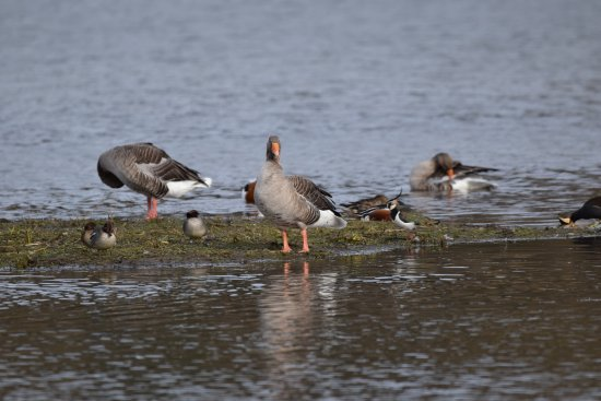 Bury St. Edmunds, UK: Teal, Geese and Lapwing at Lackford Lakes