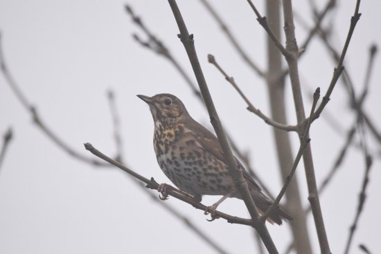 Parc Slip Nature Reserve: Song thrush at Parc Slip