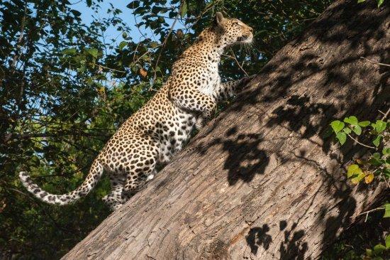 Maun, Botswana: Lovely Leopard in Khwai