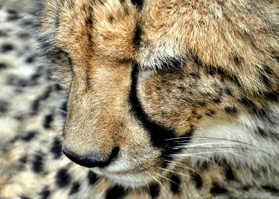 Cheetah experience. Cango Wildlife Ranch. 5km from Best Little Guest House