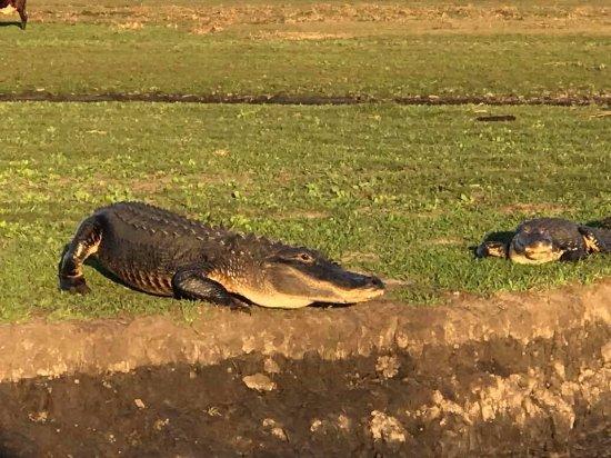 Capt Duke's Airboat Rides: Alligators are everywhere!