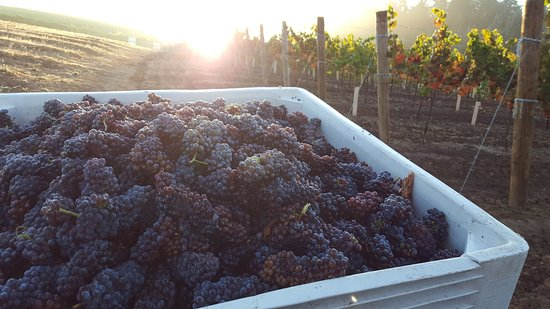 Eugene, OR: Pinot Gris picked and ready to process