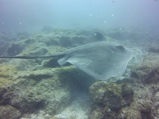 LJ Diving Tenerife: the huge stingray :)
