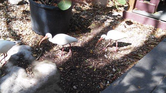 Tavernier, FL: Rescued birds