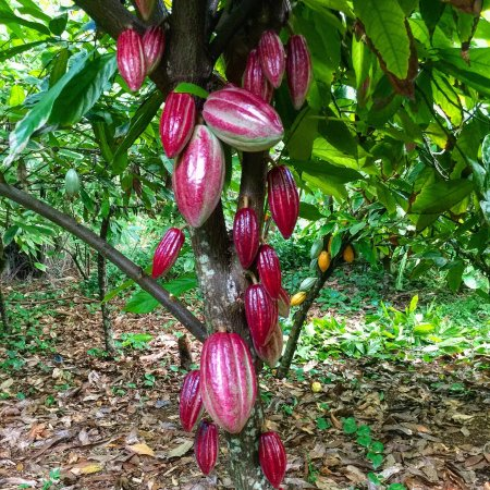 Kilauea, Hawaje: Cacao pods are the fruit of the chocolate tree! Food of the Gods!