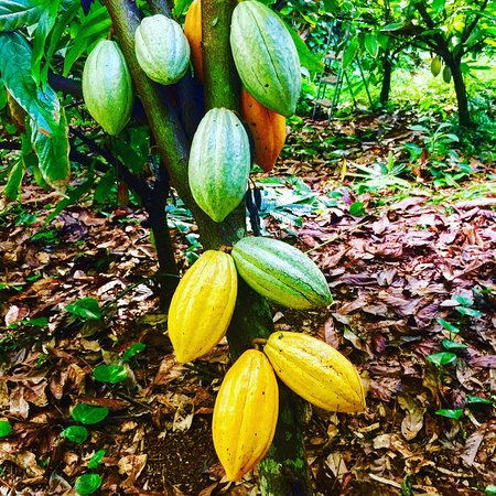 Kilauea, Hawái: Cacao pods are the fruit of the chocolate tree! Food of the Gods!