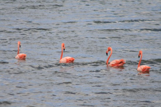 Washington-Slagbaai National Park, โบแนร์: Flamingos