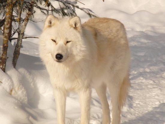 Girardville, Canada: Loup du parc Mahikan. Magnifique