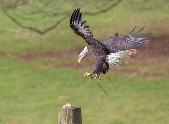 Helmsley, UK: A Bald Eagle pouncing.