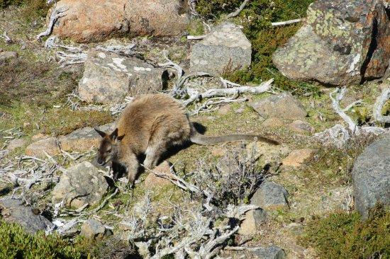 Mount Wellington: wildlife just metres away