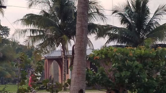 Pelican Beach - Dangriga: Squirrel climbing a tree