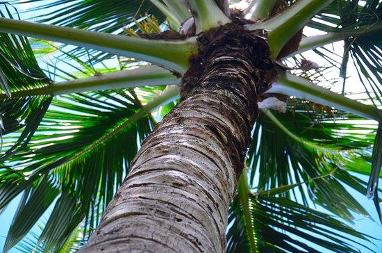 Kilauea, Гавайи: Gigantic palm tree.