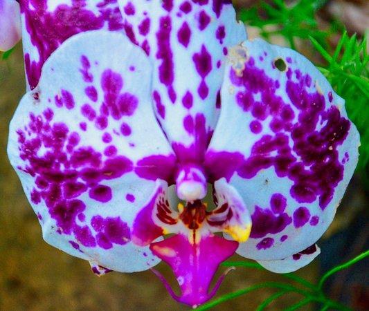 Kilauea, HI: Type of orchid.